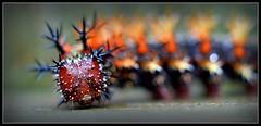Business End (J Michael Hamon) Tags: caterpillar insect bug macro moth buckmoth closeup widescreen hamon nikon d3200 nikkor 40mm kenko extensiontube photoborder nature outdoor