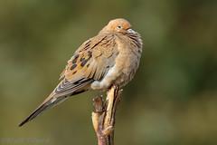 Mourning Dove (Matt F.) Tags: bird mourningdove