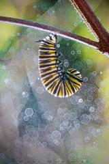 Bubbles (www.studio360fotografia.es) Tags: castellar primotar meyeroptik primotar50mmf35 nikon bosque forest bokeh desenfoque danigonzalez d750 macro insecto insect oruga monarca