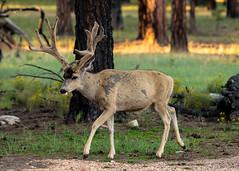 morning stroll (T_2wice) Tags: deer mule buck antlers forest morning goldenhour summer nature woods outside adventure hike hiking outdoors nikon d610 animal wildlife velvet arizona grand canyon az