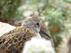 Dunlin at Monterey Aquarium (DannyRed55) Tags: dunlin wader bird california monterey aquarium sea