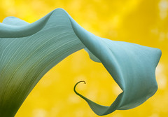 Calla Curves (Elain) Tags: oregon shoreacres garden yellow callalily curves