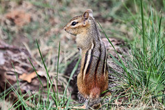 On Guard (Peggy Collins) Tags: cute stripes guard chipmunk chipper guarding chipmunks vigilant cuteanimal peggycollins