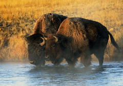 Sunrise is for Lovers (Deby Dixon) Tags: travel love nature sunrise river outdoors photography cow nationalpark nikon wildlife bull adventure yellowstonenationalpark yellowstone wyoming bison deby allrightsreserved 2012 rut femalephotographer debydixon debydixonphotography