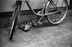 Cat in the Shade (Purple Field) Tags: street bw film monochrome bicycle japan analog cat 35mm 50mm alley kyoto kodak trix rangefinder 400tx 京都 日本 祇園 gion 猫 f28 schneider retina kreuznach 自転車 路地 モノクロ 白黒 iic 銀塩 フィルム レンジファインダー アナログ コダック retinaxenon レチナ トライx シュナイダー・クロイツナッハ レチナ・クセノン