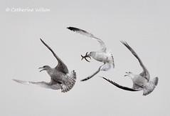 Aerobatics (weetoon66) Tags: bird geotagged scotland fight nikon starfish argyll gull flight sigma escocia aerial chase loch juvenile herring kintyre larus ecosse campbeltown argentatus d5000 150500mm leerside