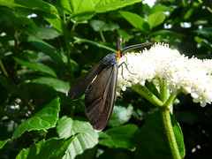 Virginia Ctenucha (scschwartz) Tags: usa nature illinois wildlife moth insects bugs blackwell waspmoth ctenuchavirginica virginiactenucha