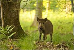 Wild Boar, Forest of Dean (Ben Locke.) Tags: wild nature wildlife gloucestershire boar forestofdean wildboar susscrofa