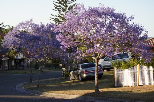 Jacaranda in suburban Brisbane by Tatters ❀, on Flickr