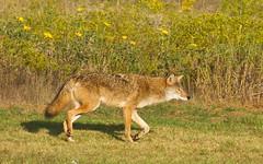 The Wiley Coyote pose (Lindell Dillon) Tags: coyote oklahoma nature raw wildlife normanok eos7d hallbrooke reddirtpics oklahomanaturepics natureinhallbrooke