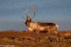 IMG_9417.jpg (AlonzaGPhoto) Tags: autumn norway reindeer wildlife deer me2youphotographylevel2 me2youphotographylevel3 me2youphotographylevel1 me2youphotographylevel4