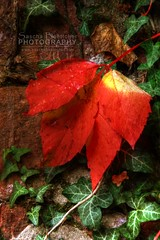 Red Wall Leaves (boettcher.photography) Tags: rot nature wall leaf natur read blatt hdr mauer sashahasha