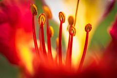 Little Big World! (papaiFelps) Tags: flower macro nikon flor micro delonixregia antera flamboyant filamento flordoparaíso androceo paurosa macroflowerlovers nikond3100