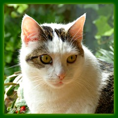 Jasmijn is wishing everybody a Happy Sunday. (Cajaflez) Tags: portrait pet cute cat kat chat panasonic katze portret gatto huisdier poes roze jasmijn pinkears thegalaxy oortjes 100commentgroup saariysqualitypictures mygearandme blinkagain dmcfz150