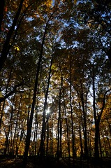 autumn in the woods (christiaan_25) Tags: blue autumn trees sky sun sunlight fall nature beauty leaves lines sunshine yellow forest golden woods october ground flare sunburst glowing tall backlit trunks thin maples forestfloor aglow mortonarboretum treesdiestandingup