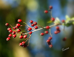 Berry-liscious (Patricia Speck) Tags: light shadow red sky countryside berry october branch berries bokeh colourful tricia patricia speck hedgerows berryliscious treatforthebirds