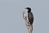 Indian Cormorant # 37 (ramsfotobites - my experiments with light) Tags: d90 nikon aves aviafauna avian bird birding birds flickr photowalk ramakrishnanrajamani ramsfotobites water cormorant indiancormorant phalacrocoraxfuscicollis indianshag wild nature natural avifauna birdphotography avianfauna fauna untamed nikkor lifer animal planet animalplanet pulicut