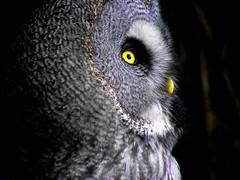 Profile of Nick Nick!!! (Galeyo) Tags: owls birdsofpreybirdswildlife me2youphotographylevel2 me2youphotographylevel3 me2youphotographylevel1 freedomtosoarlevel1birdphotosonly me2youphotographylevel4
