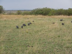 P1010160 (Inger Bussanich) Tags: guineafowl