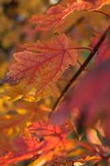 Fall on Fire (C-Shel) Tags: autumn red orange tree fall leaves yellow canon 50mm dof bokeh canondigitalrebelxt canonef50mmf18ii