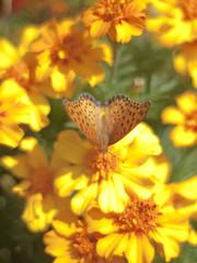 Indian Fritillary (Polotaro) Tags: nature pen butterfly bug insect olympus  zuiko ep1        gzuiko50mmf14