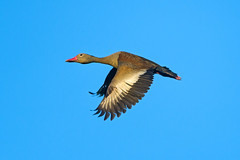 Flying duck (Tambako the Jaguar) Tags: blue wild brazil sky nature flying duck wings nikon wildlife wildanimal matogrosso pantanal d4 whistlerduck piuvallodge