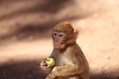 Barbary macaque, Cdre Gouraud Forest, Middle Atlas, Morocco (photosmr) Tags: monkey atlasmountains morocco maroc atlas apes fes macaque barbaryapes cdre cedarforest middleatlas macaquemonkey gouraud babary cdregouraud