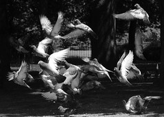 In A Flap - Explore #216 29/10/2012 (Whitto27) Tags: wood light shadow blackandwhite sun white lake black tree bird eye water monochrome look leaves fence dark mono flying blackwhite wings movement nikon pattern dof pov pigeon pigeons flight wing monotone bark capture tone d5100 whitto27