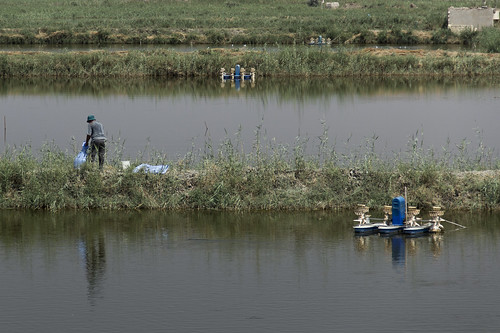 Feeding the tilapia in large intensive aquaculture ponds, Egypt. Photo by Samuel Stacey, 2012
