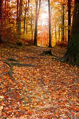 WALK TO THE LIGHT (mark_rutley) Tags: autumn light fall leaves forest woods fareham forestofbere