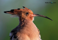 Portrait (The Hoopoe) (Badder AlQasimi) Tags: morning light green bird nature birds sunrise canon wildlife uae 7d  hoopoe majesty