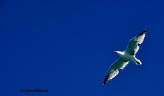 The moment you doubt whether you can fly,   you cease for ever to be able to do it...  J.M. Barrie, Peter Pan (stefano magon) Tags: sardegna sea sky italy bird nature animal fly nikon italia mare sardinia natura 2012 uccello volare d90 rememberthatmomentlevel1 rememberthatmomentlevel2