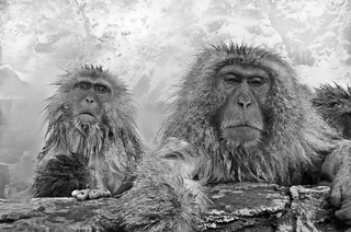 snow monkeys in hot springs - the gangster chief and his chick