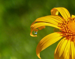 One Drop Only.. (Explore(d) (Rosita So Image) Tags: flower nature closeup golden drop droplet myanmar shanstate kalaw