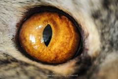 D7M_0976 (archiwu945) Tags: eye cat nikon 寵物 貓 微距 afs300f4 pb6 d700