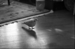 ET at the old house, 2010 (Nesster) Tags: dove 55mm 400 spotmatic f18 2010 foma fomapan 5518 autotakumar