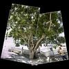 Tree in Three (Giorgio Verdiani) Tags: man tree digital america reflex downtown digitale helmet central wideangle olympus mangrove worker panama albero viejo zuiko casco panamacity 8mp centrale towncenter superwideangle evolt centrostorico e500 operaio superwide elmetto grandangolare mangrovia supergrandangolare 918mm