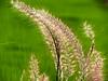 Grass flower (Shamim omi) Tags: light flower tree canon dubai outdoor dhaka sharjah sx40 ishwardi ishurdi