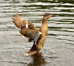 D70_6860_a (HHolloway1) Tags: nature birds duck nikon wildlife britishwildlife bushypark d7000 nikond7000
