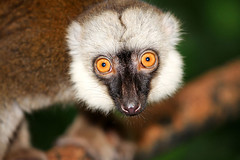 asia brown lemurs (sydeen) Tags: wild portrait cute nature face animal horizontal forest mouth hair fur mammal outdoors zoo monkey funny day looking bright head wildlife posing fluffy climbing lemur ear tropical stare paws creature focused primate balancing catta