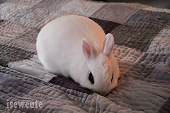 bunny softening up the quilt cute rabbit photo by isewcute (isewcute) Tags: winter ohio cute bunny bigeyes jumping conejo yuki lapin houserabbit whiterabbit dwarfbunny jumpingonthebed bunnyrabbit ourpet 2013 hotot isewcute