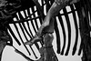 bones. (moloko-vell0cet) Tags: white toronto ontario black museum photoshop canon lens rebel dinosaur royal bones kit xs rom fossils canda cs5