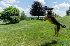 Jumping Dog (weskaniaphotography) Tags: dog jump fetch