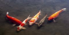 Carps (oalsaker) Tags: toulouse jardinjaponais carp carps