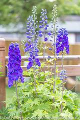 Guardian Blue Delphinium *2* (Zo Power) Tags: flowers summer june purple mygarden delphinium guardianbluedelphinium