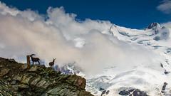 IMG_20140728_C700D_030.jpg (Samoht2014) Tags: gornergrat landschaft tiere zermatt2014 zermatt wallis schweiz