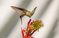 love at first sight (morris 811) Tags: archilochus colubris ruby throated hummingbird flight nikon nikkor d4s 500mm f4