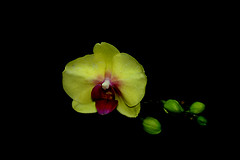 IMGP4087 Phalaenopsis (tsuping.liu) Tags: blackbackground bright blooming outdoor orchid nature naturesfinest natureselegantshots plant petal perspective pattern flower