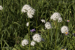 "Sitka Valerian • <a style=""font-size:0.8em;"" href=""http://www.flickr.com/photos/63501323@N07/28458456470/"" target=""_blank"">View on Flickr</a>"