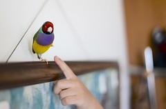 小呆看的啾啾的手的反應~XD (Jenny Yang) Tags: 小呆 小蕃茄 胡錦鳥 寵物鳥 lady gouldian finch pet bird